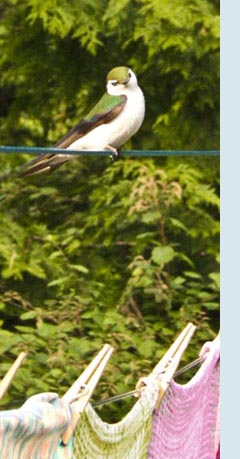 Photo of swallow on clothes line.